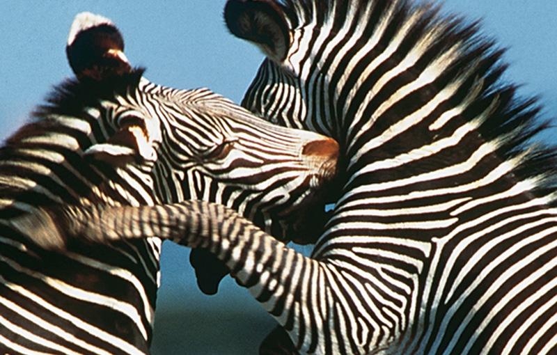 Koning Aap: Rondreis KENIA, TANZANIA EN ZANZIBAR - 22 dagen; Ruige wildernis en gouden stranden