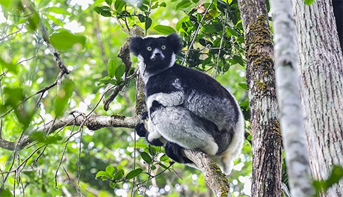 The largest lemur