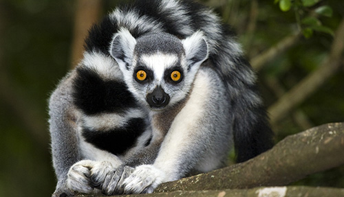 Madagascar Kort; Indri en ringstaartlemuur